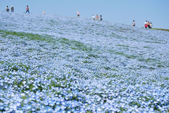 Baby_blue-eyes,Nemophila,Hitachinaka-city,Japan
